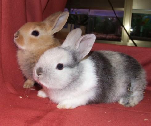El conejo dom stico mascotas en casa - Casas para conejos enanos ...