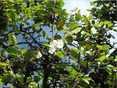 Pereira em flor