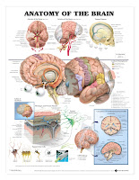 Brain Anatomical3