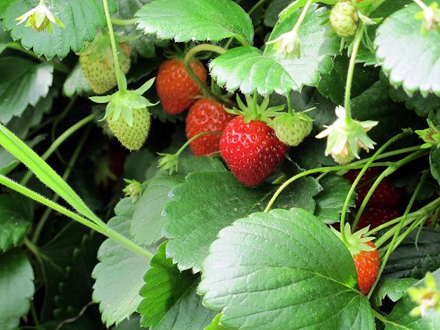 La Fraiseraie - Pornic - Culture des fraises
