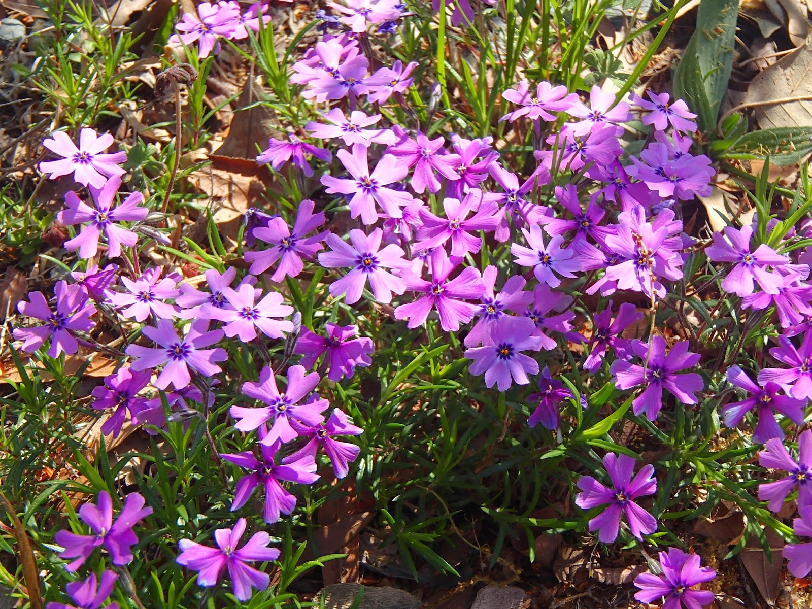 Purple Phlox | Navigating Hectivity by Micki Bare