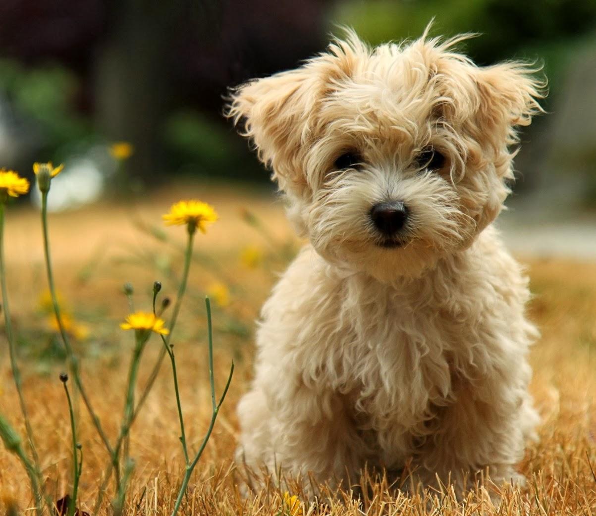 """Perro de compañía o """"faldero"""": cuidados y nombres para tu mascota. Poodle"""