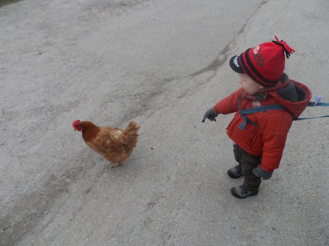 Greeted by a chicken at the local farm - like you do