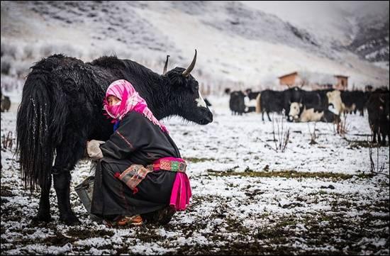 wanita-nomad-memerah-susu