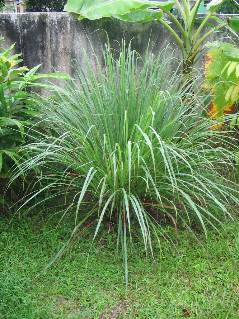 HOW TO GROW LEMONGRASS |The Garden of Eaden