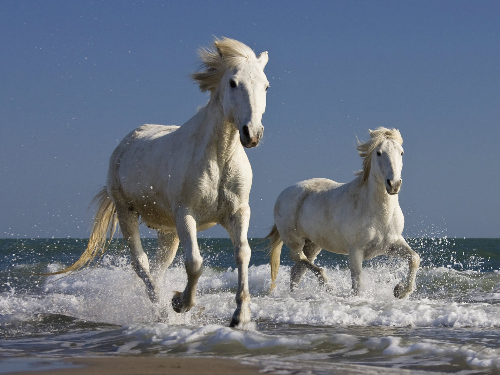 Galloping white horse - photo#21