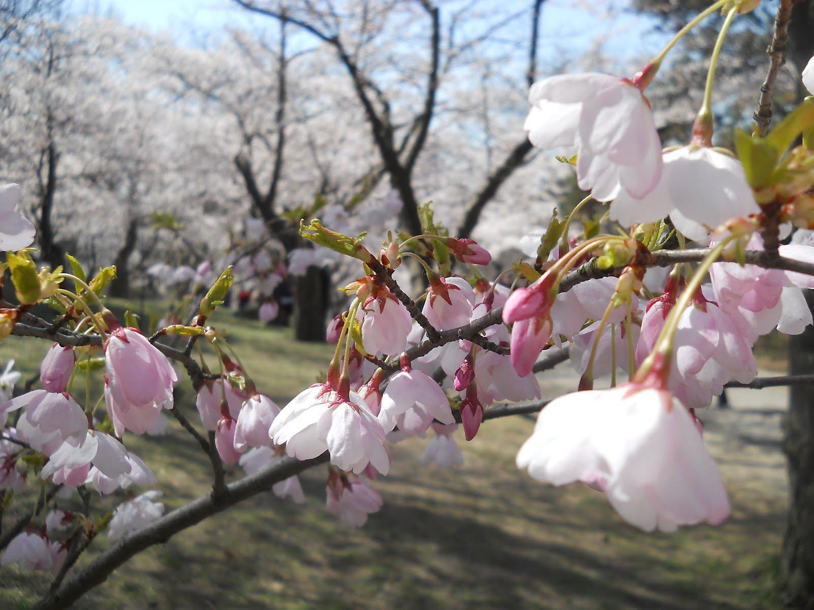 park spring blossom - photo #35