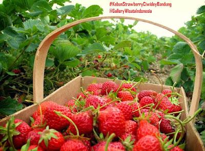 Kebun Strawberry Ciwidey Bandung | Tempat Wisata di Bandung