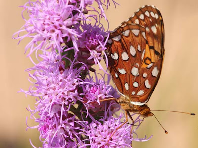 Aphrodite Fritillary on Blazing Star
