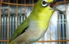 Budidaya Burung CARA MEMBEDAKAN BURUNG PLECI KACA MATA