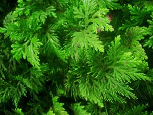 tanaman herbal Cakar Ayam (Selaginella doederleinii Hieron.)