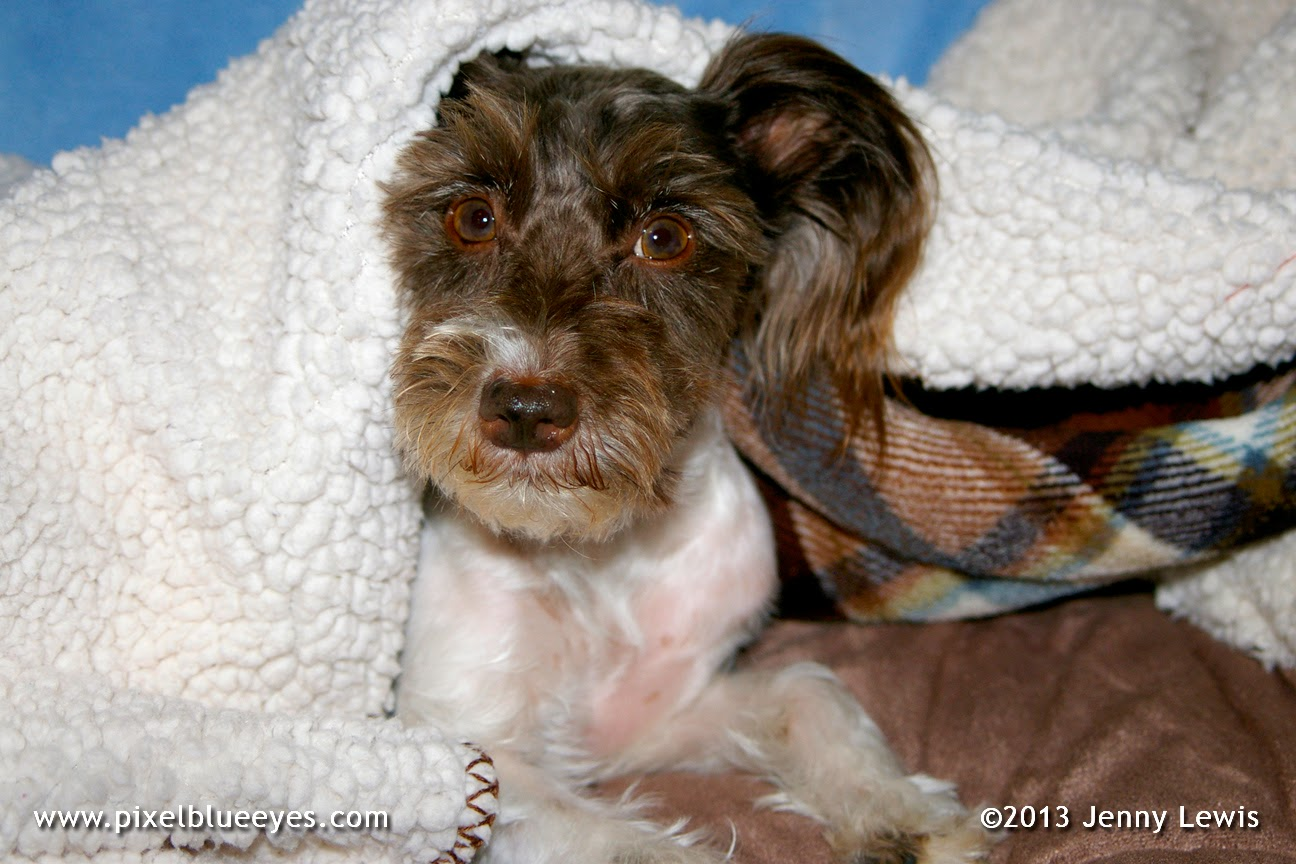 Image of Pixel Blue Eyes dog under a blanket during a painful tail pain episode