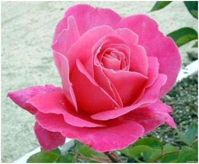 Flores y plantas hermosas significado de las rosas - Significado colores de las rosas ...