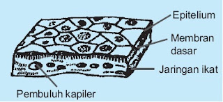 jaringan Epitelium pipih selapis