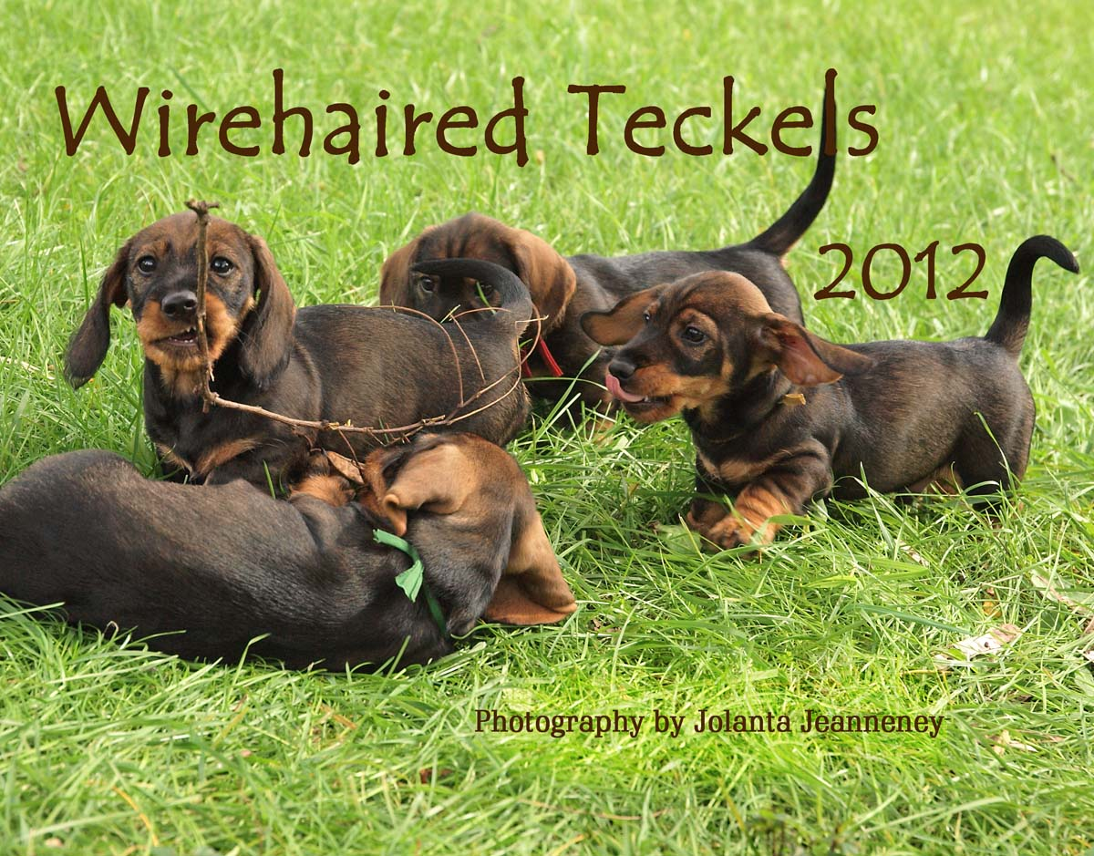Displaying 19> Images For - Wire Haired Dachshund Fox Terrier Mix...