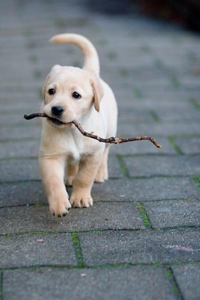 Baby Labrador fetching back a stick