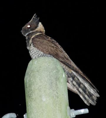 Great Eared-nightjar (Lyncornis macrotis)