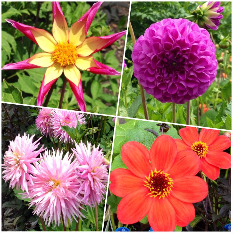 Vita da fiori dalia per dire grazie - Dalia pianta ...