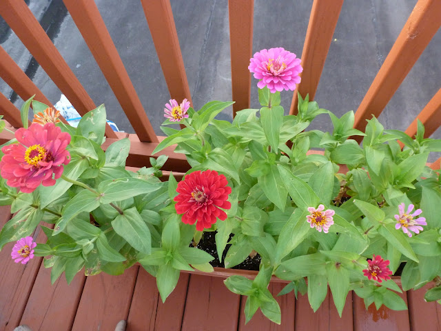 Potted zinnias