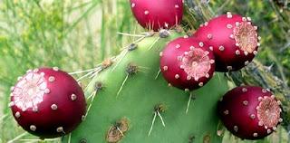 Manfaat Kaktus Pir Berduri