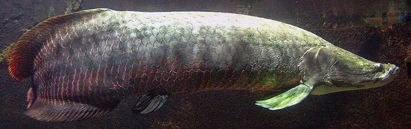 MFS-Now U Know: The arapaima, a gigantic carnivorous, air ...