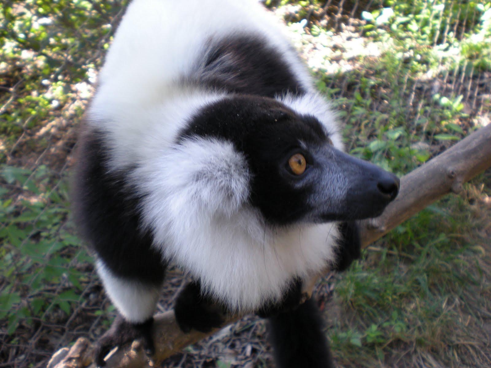 Baby aye aye lemur - photo#27