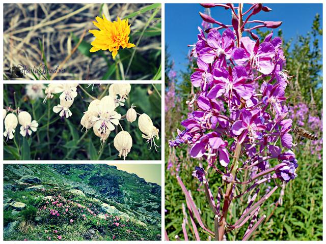 flori muntii rodnei