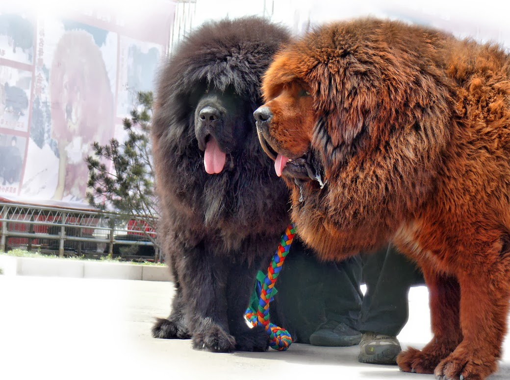 Interesting Facts, about Tibetan Mastiff, Tibetan Mastiff Facts, Amazing Facts,