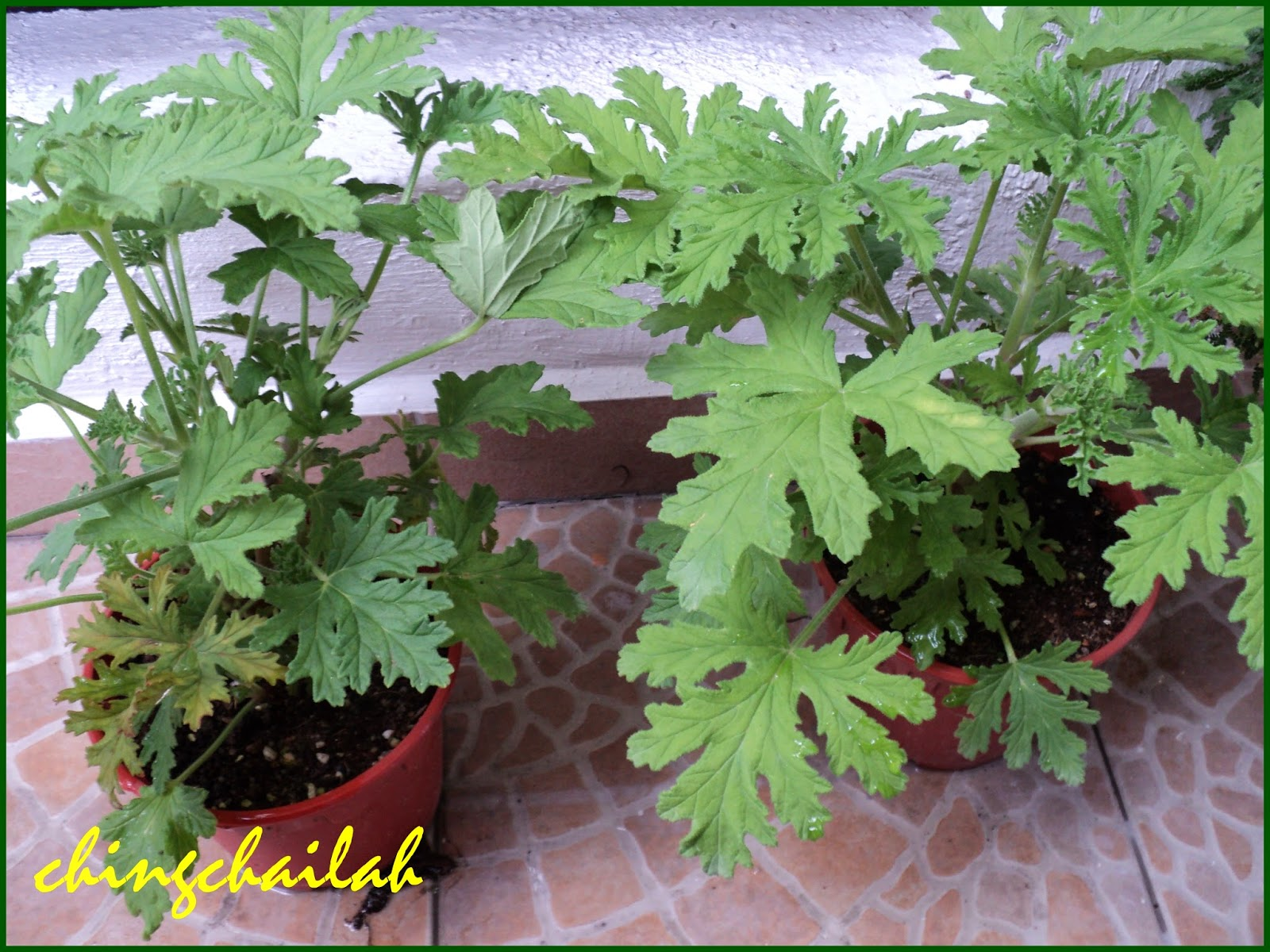 Simple living in nancy citrosa or mosquito repellent plant in my garden - Mosquito repellent plants ...