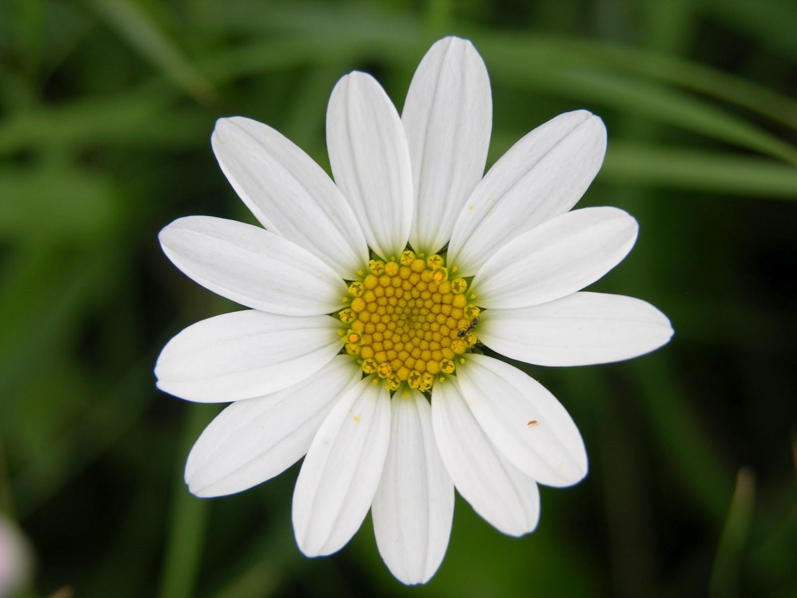 Fiori piante e giardini del mondo marzo 2012 for Margherita pianta