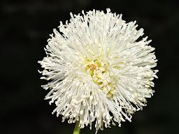 Clado Mimosidae
