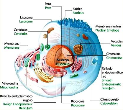 Dibujo de la Célula Eucariota Animal con los nombres de sus partes en inglés y español