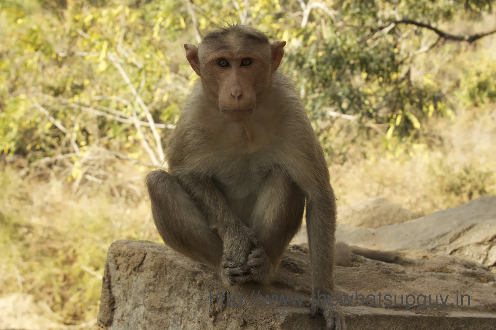 Posing Monkey Channagiri