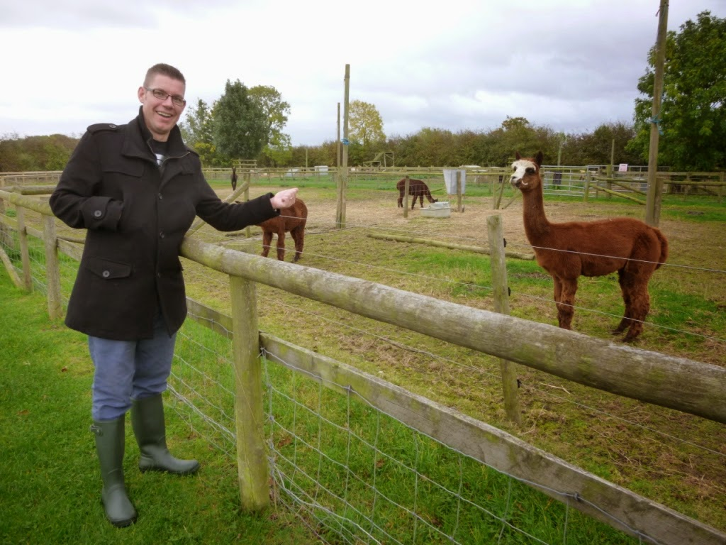 A funny looking alpaca at Mead Open Farm in Billington, Bedfordshire