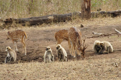 deer, langoor, kabini river lodge, india wildlife