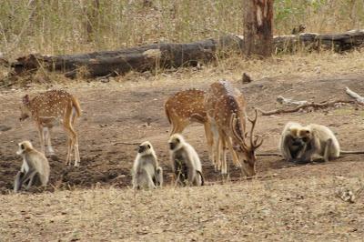 deer, langoor, kabini river lodge, india wildlife