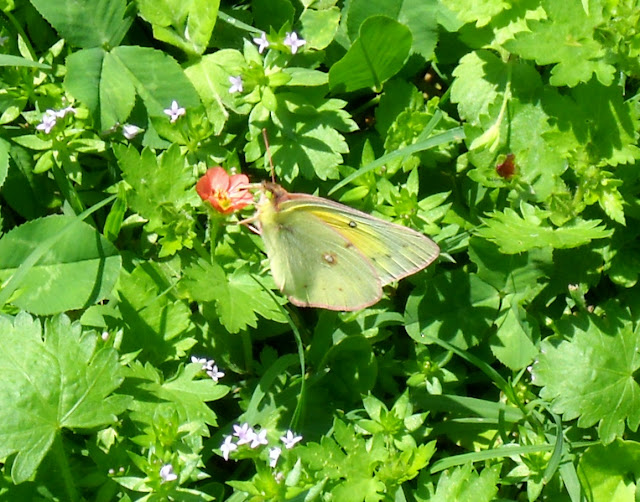 Side view of a Sulphur butterfly at White Rock Lake in Dallas, Texas