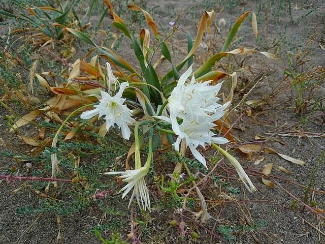 Il Pancrazio illirico - le piante delle terre albanesi in  Sardegna, Corsica e Toscano.