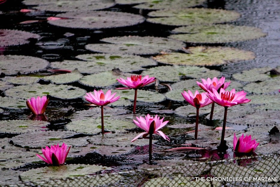 lotus flowers lake sebu
