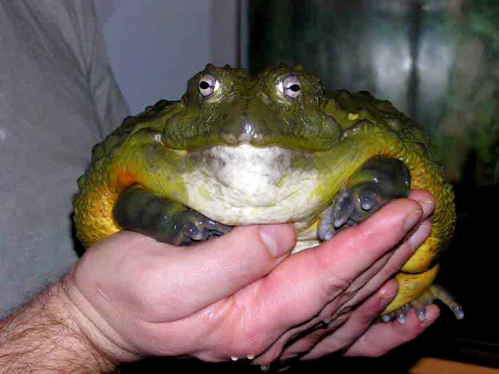 african bullfrog katak raksasa dari afrika