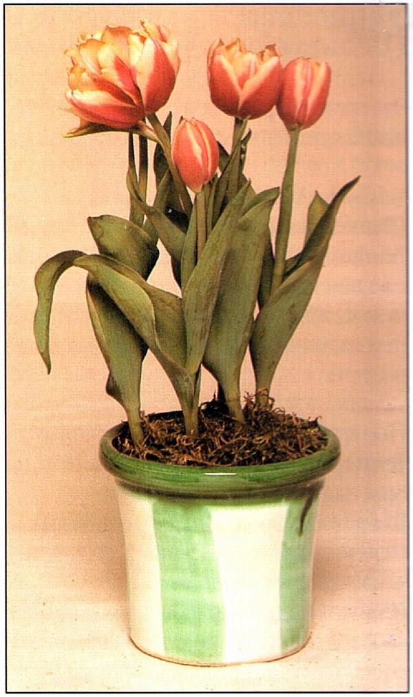 Тюльпан ранний махровый