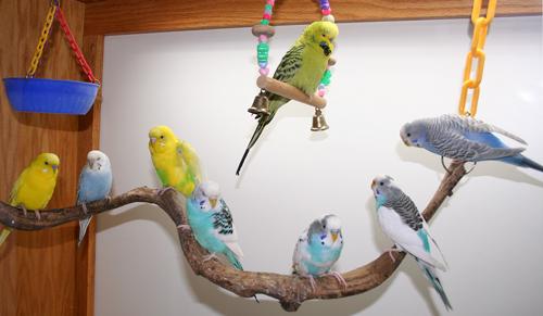 Budgerigar Parakeets Budgies Budgie Parakeet Colors