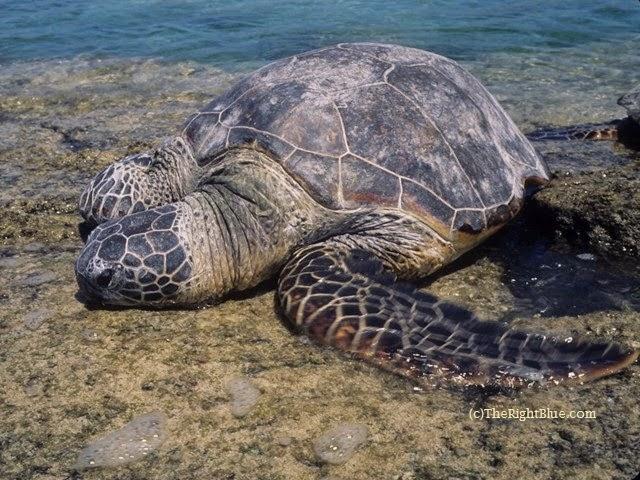 Green Sea Turtle (Chelonia mydas), basking at Puako, Hawaii