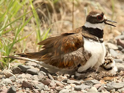 Killdeer on Nest with Chick