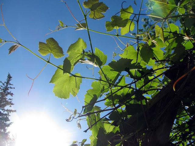 Grapevine-Under-Blue-Sky-Spring-2011
