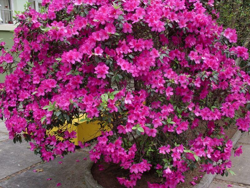 ETERNO Azaleias