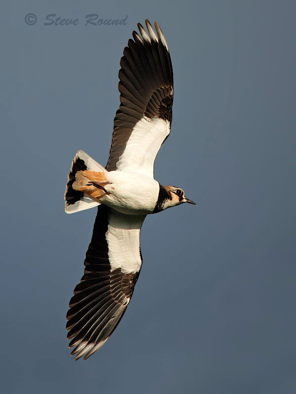 lapwing, bird