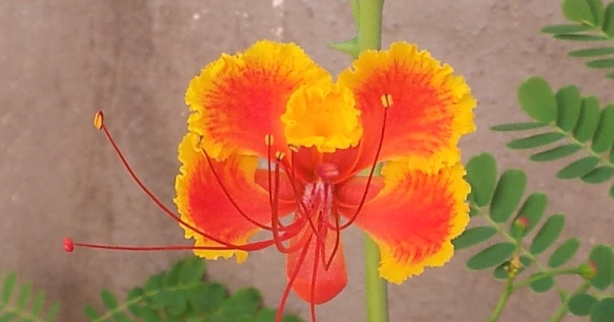 Bonito jardim flamboyant - Caesalpinia gilliesii cultivo ...