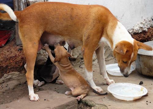 Voluntário na Guiné 18: animais de estimação