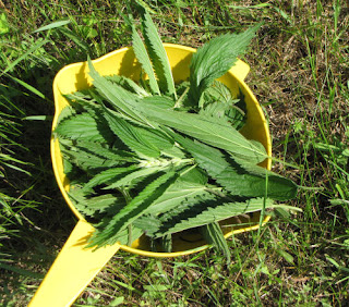 nettles harvested